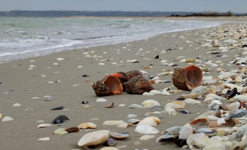В Азовському морі прогнозують появу великої кількості рапан, вже є личинки