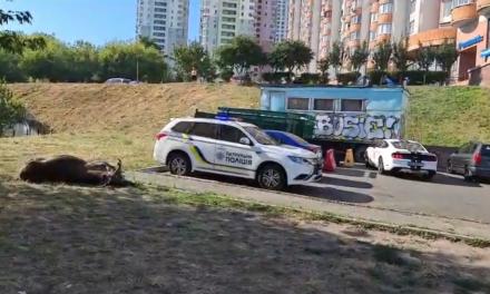 Лося, який вибігав на проїжджу частину в Києві збили, тварина загинула – відео